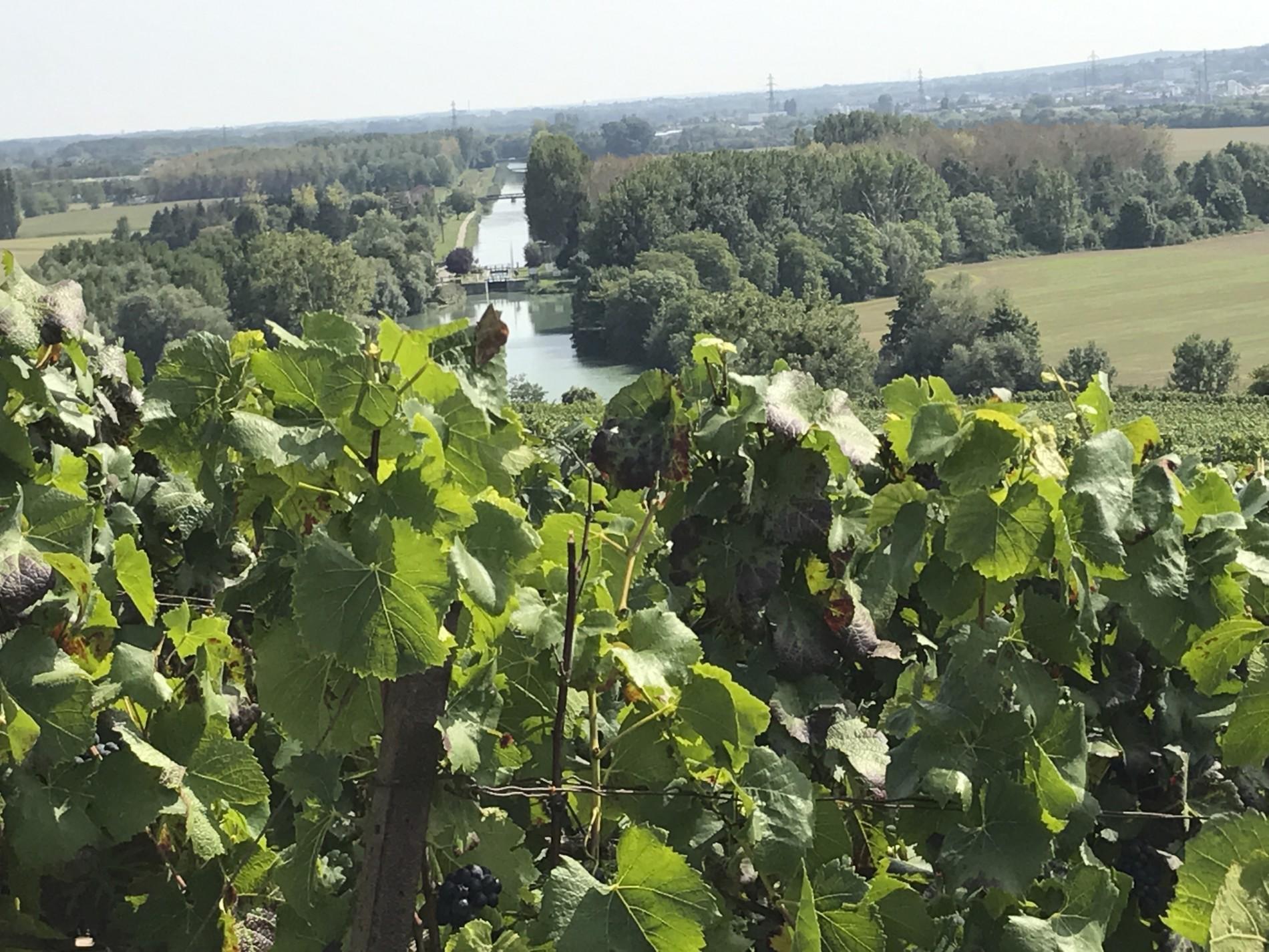 Parcourir le vignoble champenois en vendange ! mardi