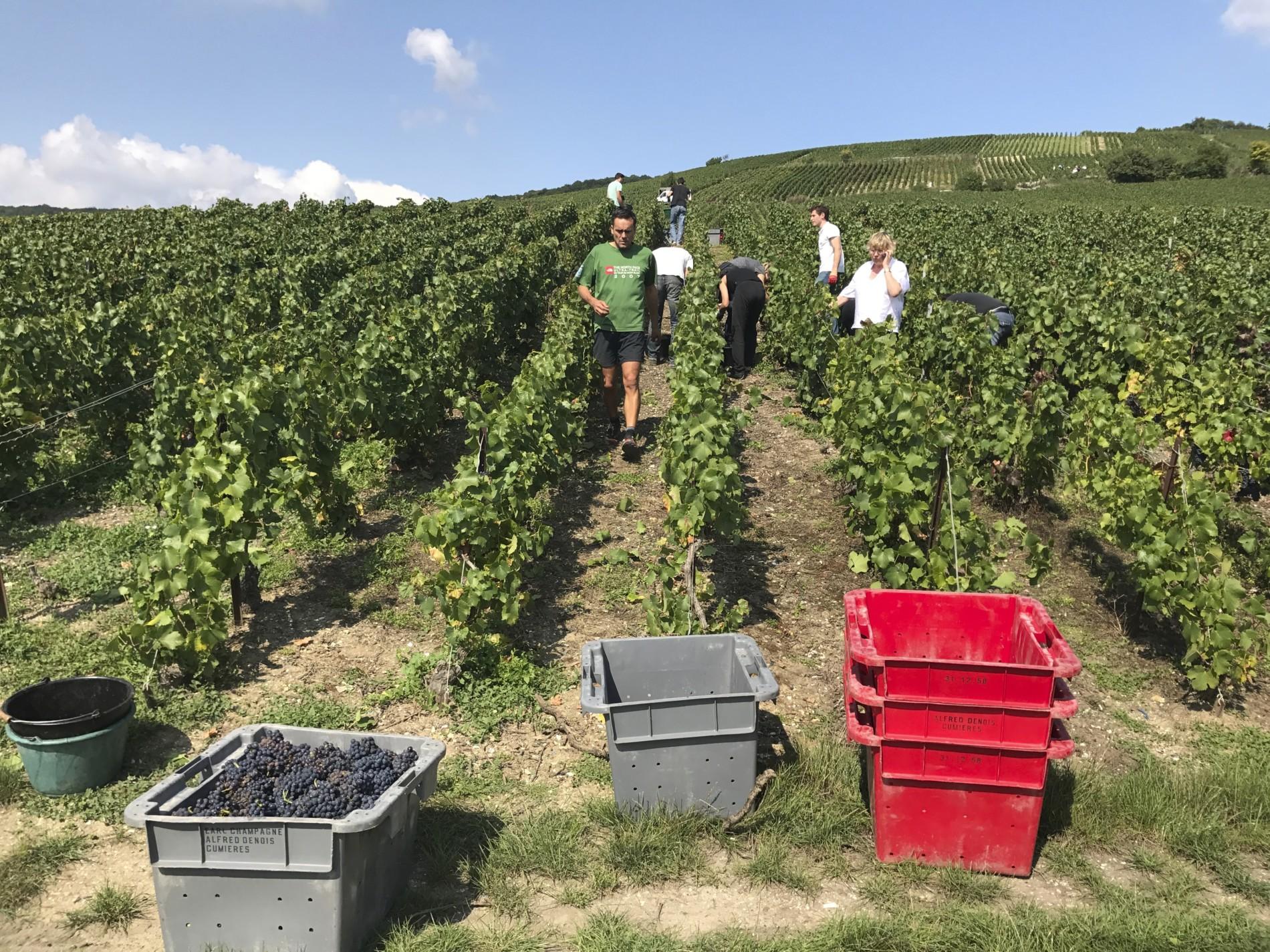 Parcourir le vignoble champenois en vendange !