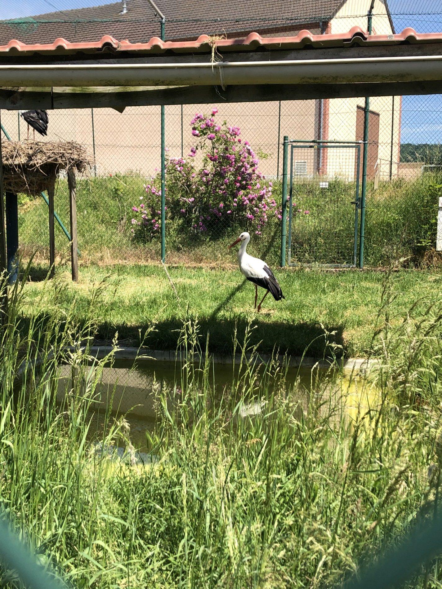Une cigogne à Hautvillers